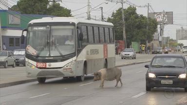 Porcos são flagrados tentando atravessar a rua em Jaboatão - Os animais atravessaram a pista várias vezes e quase provocaram acidentes. Os porcos continuaram até uma área gramada que fica embaixo do viaduto na Estrada da Batalha.