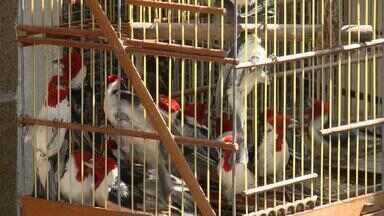 Polícia prende, em Jaboatão, homem acusado de vender aves silvestres - Ele já tinha sido preso em 2005 por tráfico de animais, foi flagrado pela polícia, na feira de Cavaleiro.