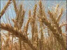 Estiagem colabora com a colheita do trigo na região - A produtividade não é das melhores, mas a qualidade dos grãos e o preço equilibrou as contas.