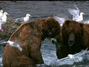 Domingão Aventura mostra a força dos ursos pardos - Cristian Dimitrius comenta como os animais, que podem esmagar uma bola de boliche com sua mordida, vivem na natureza
