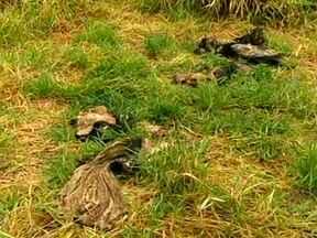Animais silvestres estão na mira de caçadores em Goiás - O alerta vem da direção do Parque Nacional das Emas. Várias carcaças de animais mortos estão sendo encontradas por fiscais, com marcas de tiros. Nos últimos 15 dias, mais de dez denúncias de caça na região do parque, foram recebidas.