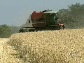 Cooperativas do Paraná pedem que governo suspenda leilões de trigo da Conab - O Paraná é o responsável por quase metade da produção do trigo do país. O motivo para a suspensão é que o estado vem enfrentando dificuldades para negociar a safra do grão, já que o governo está vendendo seus estoques por preço mais baixos.