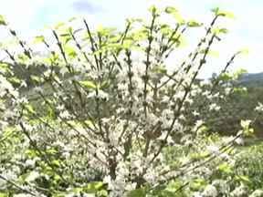 Florada antecipada do café surpreende agricultores - Produtores esperavam a florada em outubro, mas ela chegou bem antes. Estiagem e grandes chuvas no início de setembro ajudaram a plantação. Cenário enche o produtor rural de esperança.