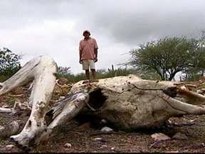 Seca no sertão do Sergipe gera perdas e destruição - Falta de chuva torna a situação dramática na região e ocasiona destruição de plantações e morte de milhares de animais.