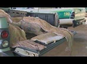 Polícia Ambiental apreende 250 quilos de pirarucu em Porto Velho - Polícia Ambiental apreendeu 250 quilos de pirarucu, no terminal pesqueiro do Cai n'Água, em Porto Velho. O pescado não possuía nota fiscal nem tamanho mínimo permitido para captura, 1,08 metros, informou a polícia.