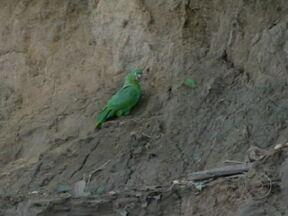 Milhares de aves correm riscos na represa da Usina de Jirau - Num raio de cem quilômetros na área de influência do Rio Madeira, foram localizados 20 barreiros onde as aves vem se alimentar. A grande preocupação dos ambientalistas é que tudo será alagado pelo reservatório da Usina de Jirau.