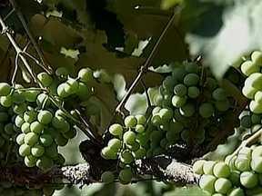 Produtores de uva preveem perdas na safra em Jundiaí (SP) - Os produtores de uva de Jundiaí, em São Paulo, estão prevendo perdas na safra. A estiagem comprometeu o desenvolvimento dos cachos, e a produtividade será menor.