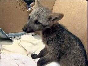 Resgatado o que seria um filhote de lobo-guará - Especialistas dizem que o animal tem as características de um cachorro do mato.