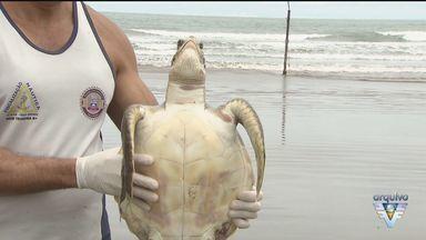 Reunião em Santos, SP, debate causas de mortes de animais marinhos - Somente o Gremar atendeu mais de 180 tartarugas marinhas na região.