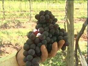 Começou a colheita da uva - Em Toledo é possível comprar uva direto do produtor.
