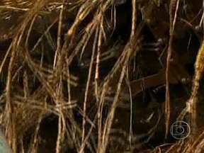 Tempo úmido estende maturação da cana de açúcar em São Paulo - A safra de cana de açúcar deveria terminar no fim de novembro. Mas o tempo úmido, no meio do ano, estendeu a maturação da planta e a colheita foi prorrogada até dezembro. A Unica, entidade que representa as usinas, divulgou um novo balanço.