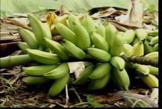 Distrito de Pedra Branca faz Festa para comemorar grande colheita de banana - Área destinada ao cultivo de banana cresceu 50 vezes em 20 anos. População do Distrito de Pedra Branca comemora com festa.