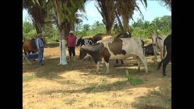 Produtores rurais fazem controle dos gastos para aumentar produção de leite, no Amazonas - Produtores rurais fazem controle dos gastos para aumentar produção de leite, no Amazonas. Ela toma cuidado para conseguir fazer tudo sem prejudicar o meio ambiente e conseguir lucrar.