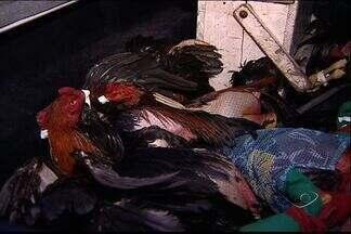 Polícia prende quatro homens e fecha rinha com 40 galos, no ES - Rinha de galo funcionava na Serra.