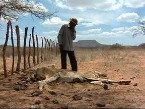 Ano de 2012 registrou uma das piores secas vividas pelo Nordeste - Rebanhos da região estão em situação bastante precária. Produtores são obrigados a se desfazer da criação ou ver os animais morrerem.