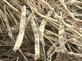 Chuva atrapalha colheita do feijão no Paraná - Mesmo tendo aberto o tempo no RS e SC, continuou a chover forte no PR. Em Campo Mourão, a chuva está atrapalhando a colheita do feijão preto. Em Ivaí, o excesso de umidade prejudicou os grãos.