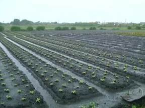 Produtores de hortaliça do Cinturão Verde de SP enfrentam problemas com excesso de chuva - Em Mogi das Cruzes, muitos agricultores perderam quase toda a produção. Chuva constante também aumenta muito o intervalo entre a colheita dos pés e o plantio de novas mudas.