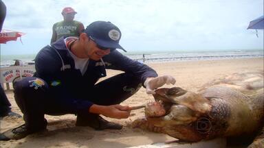 Tartaruga é encontrada morta no Recife com peixe entalado na garganta - Baiacu inflou na boca da tartaruga por um mecanismo de defesa de acordo com ambientalista.