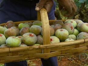 Produtores de figo conseguem alta produção, qualidade e bom preço em Valinhos (SP) - Alta produção, frutos com qualidade e bom preço. Essa é a combinação que todo agricultor sonha. E este ano está se tornando realidade para os produtores de figo de Valinhos, em São Paulo.