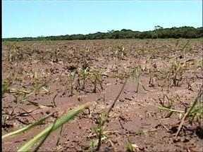 Platações de soja Na fronteira oeste do RS são prejudicadas pelo excesso de chuva - Só em janeiro o nível pluviométrico já atingiu 160 milímetros quando a média normal é de 151.