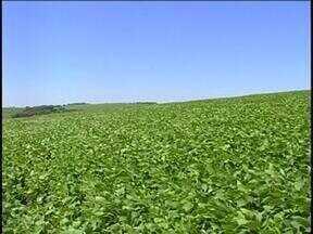 Produtores da região noroeste do estado estão em alerta a possível incidência de pragas - O clima é favorável à plantação.
