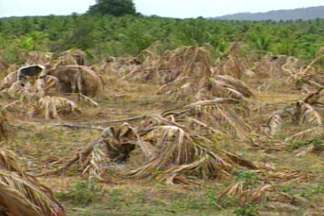 Produtores de coco do alto sertão paraibano passam por dificuldades sem irrigação - Longo período de estiagem fez baixar o nível do açude em Sousa.