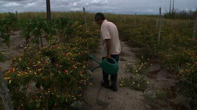 Pimenta muda paisagem e o bolso dos produtores rurais de Coruripe - Cultivo é feito todo ano na região do Litoral Sul do estado.