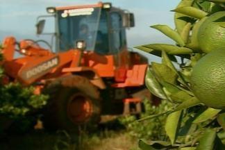 Queda na exportação afeta produtores de laranja de São Paulo - Produtores de laranja do estado estão bastante desanimados. Muitos têm preferido substituir os pomares por plantações de cana.