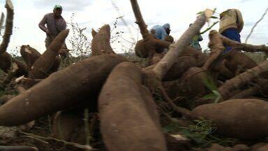 Seca aumenta preço da mandioca em Alagoas - Longa estiagem compromete a produção no Agreste do estado.