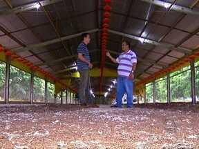 Criadores de frango em MT reclamam de dificuldades na criação - Em Tangará da Serra os criadores de frango estão com dificuldades porque a indústria que fornece os pintinhos tem demorado para renovar os lotes.