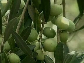 Pesquisadores comemoram bons resultados da produção de azeitonas em Santa Catarina - Pesquisadores da Epagri, a empresa de pesquisa agropecuária de Santa Catarina, comemoram os bons resultados da produção de azeitonas no oeste do estado. Com alta produtividade, essa pode ser a nova alternativa de renda para os pequenos agricultores.