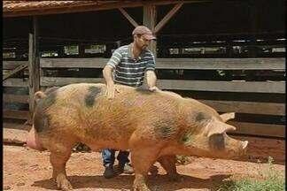 Porco peso pesado - Animal com cerca de 30 arrobas chama a atenção em Cosmorama, SP