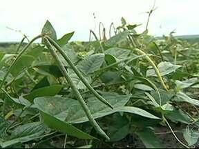 Regularidade das chuvas ajudam a acelerar o plantio do feijão no Piauí - Em algumas regiões do Piauí, onde a chuva voltou com regularidade, o momento é de alegria. No município de Agricolândia, tem produtor colhendo feijão.