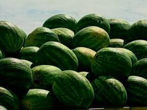 Safra de melancia deve dobrar em Encruzilhada do Sul (RS) - A safra de melancia deve dobrar em 2013, em Encruzilhada do Sul, no Rio Grande do Sul. O município é o segundo maior produtor do estado, e esse aumento está afetando o preço pago pela fruta.