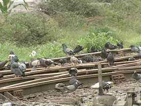 Contato com pombos pode transmitir doenças - Os pombos estão em todos os cantos do Guarujá. A cidade de São Paulo tem mais ou menos um pombo para cada habitante.