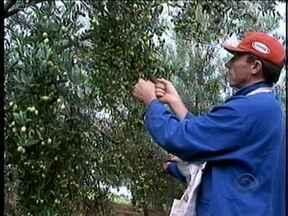 Produção de azeitonas começa a render retorno para produtores do Oeste - Produção de azeitonas começa a render retorno para produtores do Oeste