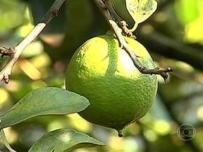 Produtores de limão temem a doença amarelão nas lavouras paulistas - Os produtores de limão de São Paulo não estão gostando do resultado da safra. Eles reclamam do preço baixo e temem o avanço de uma das piores doenças da citricultura: o amarelão, chamado em inglês de greening.