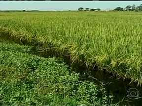 Soja está ganhando espaço do arroz na campanha gaúcha - Para aproveitar os bons preços, muitos produtores do RS decidiram ampliar a área plantada com o grão. Em algumas propriedades, as plantações chegam bem próximo das estradas.