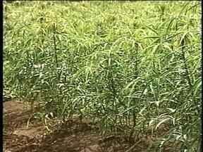 Produtores de mandioca comemoram alta no preço da raiz no RS - Excesso de umidade e bactéria prejudicaram a safra este ano.