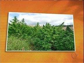 Plantação com mais de 3 mil pés de maconha é descoberta pela polícia - No local também havia uma estufa para a secagem da droga.