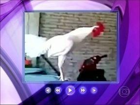Ana Maria mostra vídeo de galo que dá 'gargalhada' - Louro José se diverte com o animal