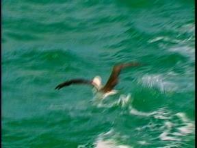 Albatrozes foram devolvidos ao seu habitat natural em Rio Grande, RS - As aves foram encontradas com ferimentos.