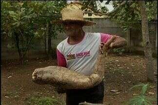 Aposentado colhe mandioca de mais de 1 metro no quintal de casa, em Porangatu, Goiás - Raiz gigante foi colhida por morador de Porangatu, no norte do estado.Ele conta que cultiva há 2 anos planta que se desenvolveu mais que esperado