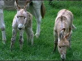 Jumentas gêmeas fazem sucesso em Minas Gerais - Em Divinópolis, Minas Gerais, uma jumenta pariu gêmeas. O fato é considerado pouco comum e chama a atenção. A cria é de um animal que estava na quarta gestação.