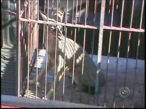 Raposa é capturada em escola infantil no centro de Tupã, SP - Uma escola estadual no centro de Tupã (SP) teve uma visita inesperada na manhã desta quinta-feira (18). Uma funcionária fazia a limpeza da escola quando encontrou uma raposa no jardim.