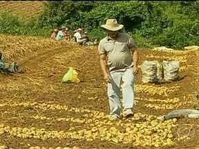 Chuva prejudica produção de batata no Sul de Minas Gerais - A produção de batata será menor em 2013 no sul de Minas Gerais. O excesso de chuva interferiu na quantidade e na qualidade do tubérculo. Boa parte da batata produzida em Ipiúna é vendida na Ceasa de Poços de Caldas.