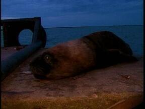 Leão marinho aparece na Lagoa dos Patos, em Rio Grande - Animal de quase 150 kg chamou a atenção dos transeuntes.