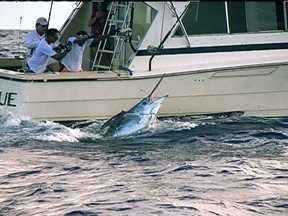 Pesca Oceânica - Equipe do Globo Mar acompanha adeptos da pesca oceânica no mar da Bahia. Grupo de pescadores encontra marlim azul de três metros de comprimento e cerca de 250 quilos.