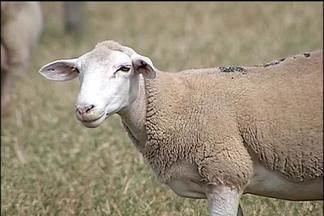 Ovinos estão entre destaques da Facilpa - Feira Agropecuária de Lençóis Paulista termina domingo, dia 11. A exposição de ovinos é uma das atrações. O mercado de cordeiro anda aquecido e a demanda é maior do que a oferta de animais no mercado