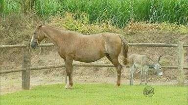 Fazenda de São Tomás de Aquino reúne equinos que custam até R$ 100 mil - Fazenda de São Tomás de Aquino reúne equinos que custam até R$ 100 mil